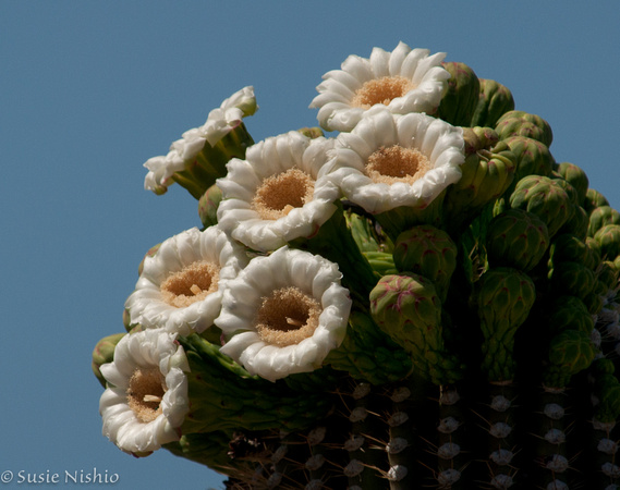 zenfolio susie nishio 2011 04 18 tohono chul saguaro cactus blossoms nikon digital camera d3200 manual nikon digital camera manual focus